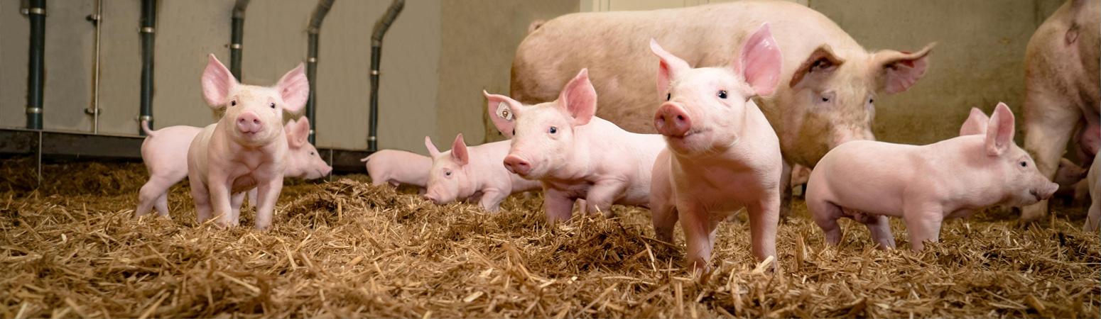 Tratamentul nematodei porcine. Despre login / înregistrare